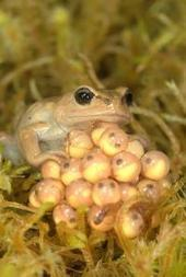 Disease, not climate change, fueling frog declines in the Andes, study finds | Ecohealth | Scoop.it