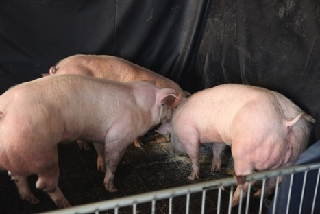 Super-muscly pigs created by small genetic tweak | leapmind | Scoop.it