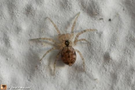 Cette petite araignée des murs est un grand stratège ! - Le JardinOscope, toute la vie animale de nos parcs et jardins | Les colocs du jardin | Scoop.it