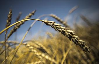 Russia: Siberian scientists breed flexible wheat hydrid | Purpose-oriented communications 4dev | Scoop.it