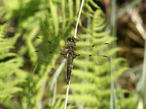 Global : Photos de libellules du Québec - Odonates du Canada - Libellule - Odonate - Odonatoptères - Zygoptères - Demoiselles - Dragonfly - Dragonflies - Damselflies - Damselfly - Page 2 | Fauna Free Pics - Public Domain - Photos gratuites d'animaux | Scoop.it