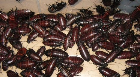 Woman Keeps 100,000 Cockroaches in Her Home, Calls Them Her Children | Strange days indeed... | Scoop.it