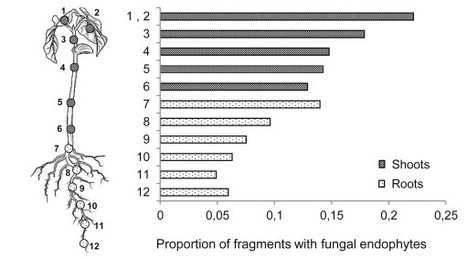 Fungal endophytes in germinated seeds of the common bean, Phaseolus vulgaris | Plant-Microbe Symbiosis | Scoop.it