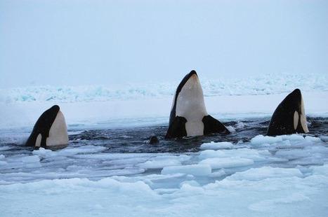Les orques de la baie d'Hudson enfin libres!   Vegactu - végétarien, végétalien et végan   Scoop.it