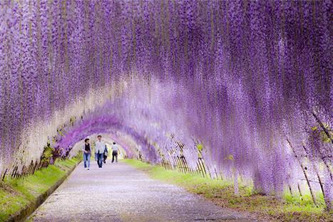 Tunnel de glycines au Japon | Journal du Design | Chroniques d'antan et d'ailleurs | Scoop.it
