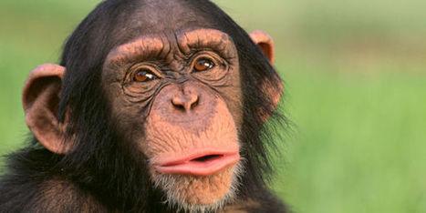 Management : le singe meilleur manager que l'homme ? - Terrafemina | Management des hommes dans l'entreprise | Scoop.it
