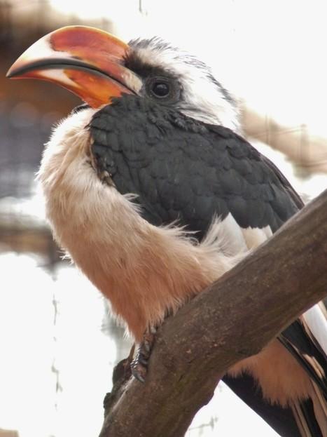 Photos d'oiseaux - Calao de Van Der Decken - Tockus deckeni   Fauna Free Pics - Public Domain - Photos gratuites d'animaux   Scoop.it