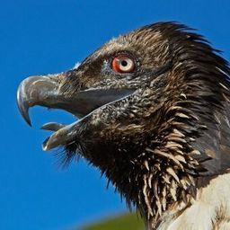 Hunting for Corpses: Vultures Lured Back to Germany - SPIEGEL ONLINE | Farming, Forests, Water, Fishing and Environment | Scoop.it