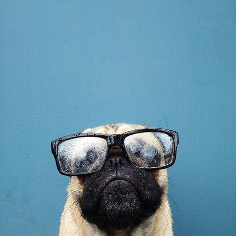 Meet the Charismatic Pug Norm | Pet Health and Happiness | Scoop.it