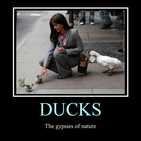 Gypsy Ducks | LOLfreak | Scoop.it