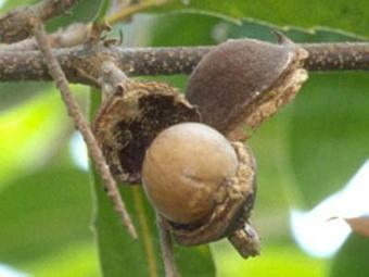 Noix de macadamia : richesse incomparable   Plantes médicinales   Scoop.it