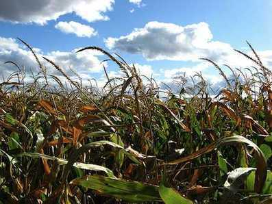 Hungary Destroys 1,000 Acres of Genetically Modified Corn Crops | Food issues | Scoop.it