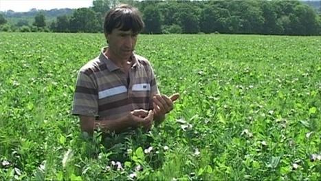 Méteils riches en légumineuses - Web-agri | Agriculture de Conservation des Sols | Scoop.it