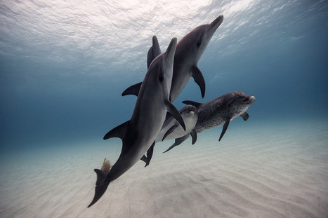 Cross-species dolphin society gets friendlier after hurricanes | Human Nature and Culture of Peace | Scoop.it