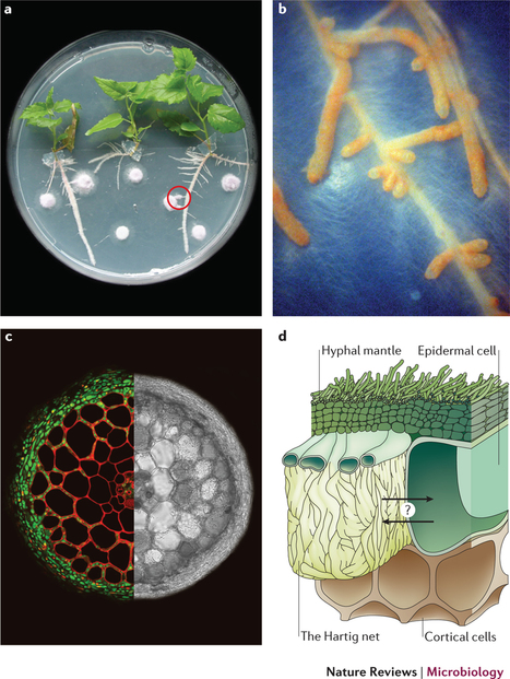 Unearthing the roots of ectomycorrhizal symbioses : Nature Reviews Microbiology | Transport in plants and fungi | Scoop.it