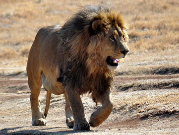 African Lions Move Closer to US Endangered Species Act Protection | Rhino poaching | Scoop.it