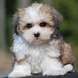 Teddy Bear Puppies for Sale | Dogs Gone Wild | Scoop.it