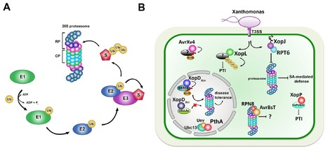 Front. Plant Sci. : Interactions of Xanthomonas type-III effector proteins with the plant ubiquitin and ubiquitin-like pathways (2014) | Publications @ the Börnke Lab | Scoop.it