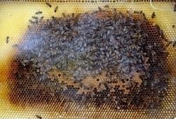 Royaume-Uni : les bourdons volent au secours des fraises | EntomoNews | Scoop.it