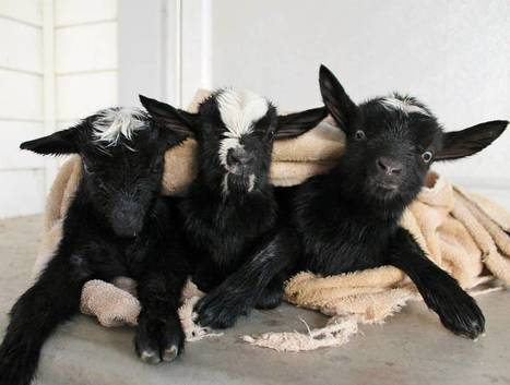 A Trio of Newborn Baby Goats Stay Warm on a Chilly Evening in Cozy Coordinating Sweaters | fitness, health,news&music | Scoop.it