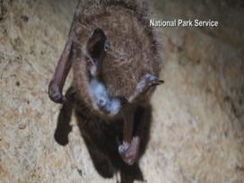 White-nose syndrome threatens bats in eastern Iowa - kwwl.com | Bat Biology and Ecology | Scoop.it