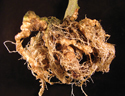 Major Emerging Problems with Minor Meloidogyne Species | Plant protection | Scoop.it