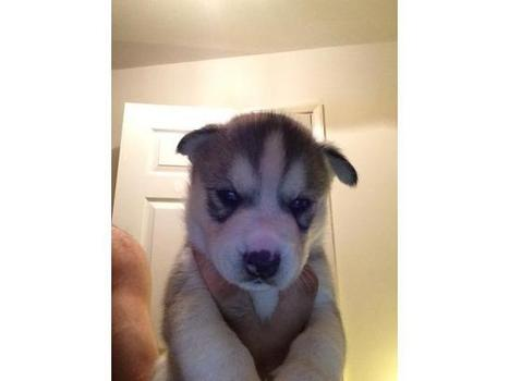 SIBERIAN HUSKIES PUPPYS READY TO GO NO - Classified Ads UK | Place Free Ads | freelly.co.uk | UK Classifieds | Scoop.it