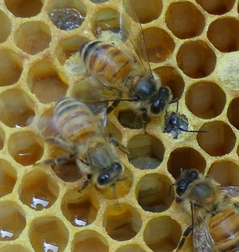 Antennae hold a key to Varroa-sensitive hygiene (VSH) behaviour in honey bees | Organic Farming | Scoop.it