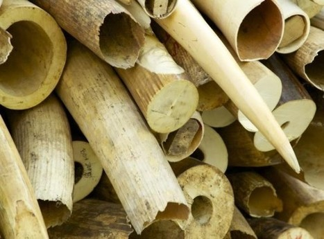 Namibia Says No to Destroying Its Huge Ivory and Rhino Horn Stockpile | Wildlife Trafficking: Who Does it? Allows it? | Scoop.it