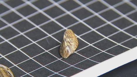 Zebra Mussels Found in Trinity River   Trinity River Basin   Scoop.it