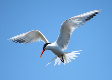 Is global warming driving seabirds from their Gulf of California nesting grounds? | GarryRogers NatCon News | Scoop.it