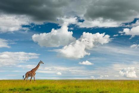 Giraffes, Zebras Face Surprising Top Threat: Hunting | Human-Wildlife Conflict: Who Has the Right of Way? | Scoop.it