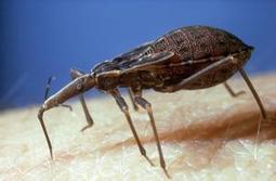 La maladie de Chagas : le nouveau Sida? | EntomoNews | Scoop.it