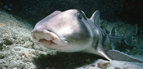 Du peureux au courageux, chaque requin possède sa propre personnalité | Biodiversité | Scoop.it