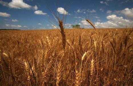 Agriculture et économie: Un nouvel Eldorado pour le blé en Afrique | Actualités Afrique | Scoop.it