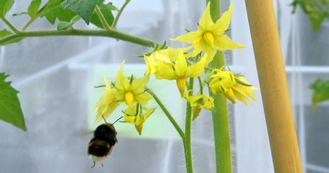Tomatoes with virus attract bees | Plant Molecular Farming | Scoop.it