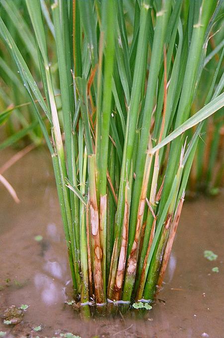 Rhizoctonia solani on rice | Rhizoctonia solani | Scoop.it