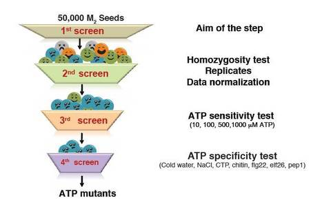 Science: Identification of a Plant Receptor for Extracellular ATP | Plant Biology Teaching Resources (Higher Education) | Scoop.it