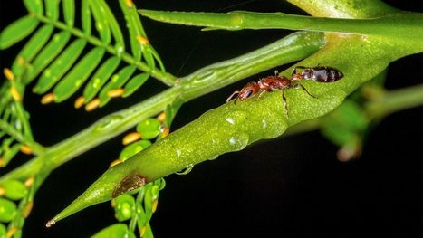 Peaceful ant-plant partnerships lead to genomic arms races   MycorWeb Plant-Microbe Interactions   Scoop.it