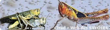 Les criquets ravageurs | EntomoScience | Scoop.it