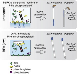 D6 PROTEIN KINASE Activates Auxin Transport-Dependent Growth and PIN-FORMED Phosphorylation at the Plasma Membrane | plant developments | Scoop.it