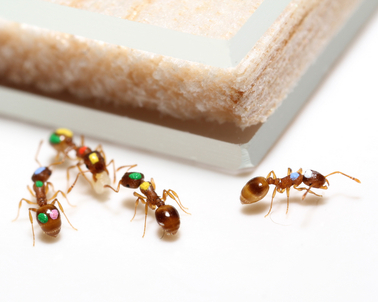 Scientists discover that ants, like humans, can change their priorities | Complex World | Scoop.it