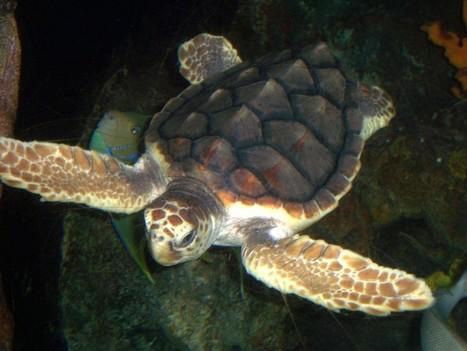 [05/08] Ponte d'une tortue marine sur une plage fréjusienne | Puget sur Argens | Scoop.it