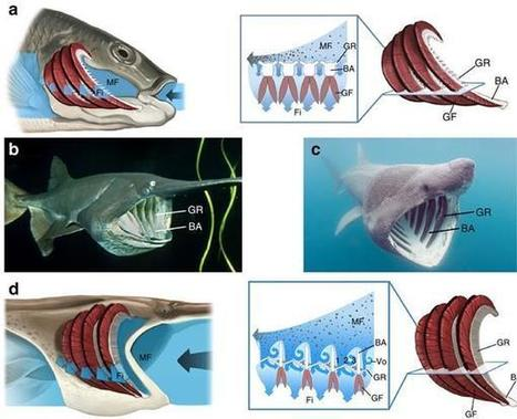 Researchers develop clog-resistant filtration system inspired by 3D printed fish mouths | 3D_Materials journal | Scoop.it
