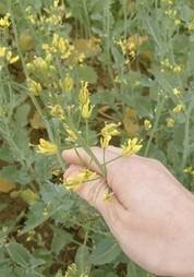 Secretos para ser eficientes en colza | oilseed | Scoop.it