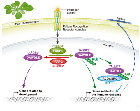 EMBO Reports: Plants get on PAR with poly(ADP‐ribosyl)action (2016) | Plant pathology | Scoop.it