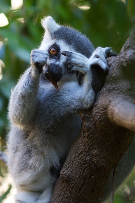 Ring-tailed lemurs at Valencia Bioparc. We had a... • Tom Wright | Ring Tailed Lemurs | Scoop.it