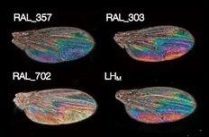 Attractivité sexuelle chez la mouche Drosophila melanogaster   Sciences biologiques   Scoop.it