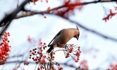 Make the most of waxwings in this welcome winter weather | 100 Acre Wood | Scoop.it