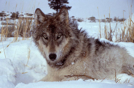 Lead Like An Alpha Wolf   Creative Writing   Scoop.it